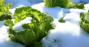 冬野菜の育て方!初心者でも栽培可能な冬野菜をご紹介。