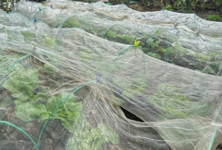 冬野菜の栽培時、寒さ対策に欠かせない寒冷紗とは