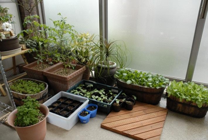 冬野菜の栽培は、ベランダでも楽しめる!