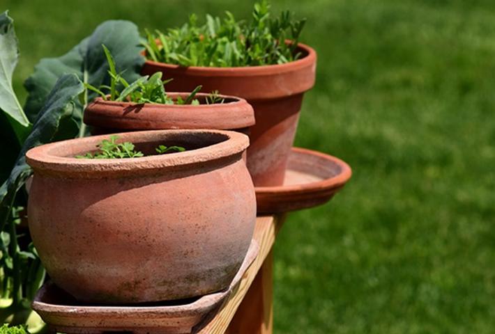 水滴をまとったような姿が珍しい野菜【アイスプラント】の育て方