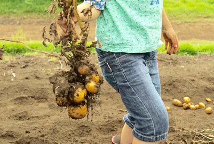 種イモの選び方