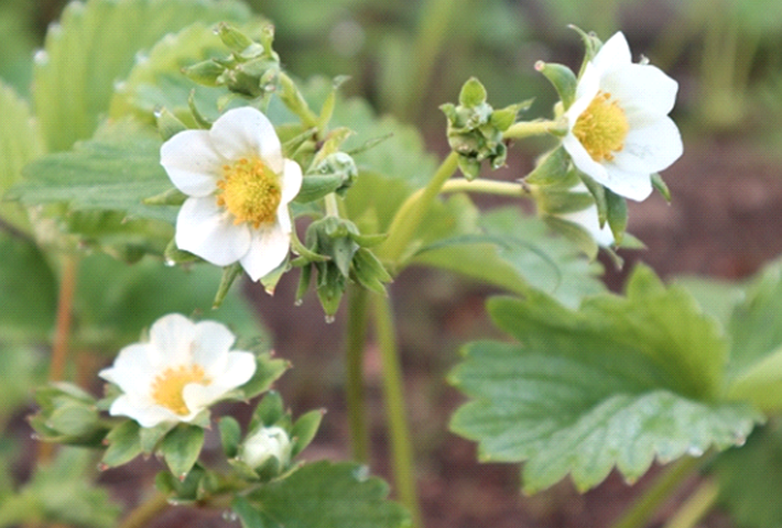家庭菜園でのイチゴの水やりと肥料、管理方法