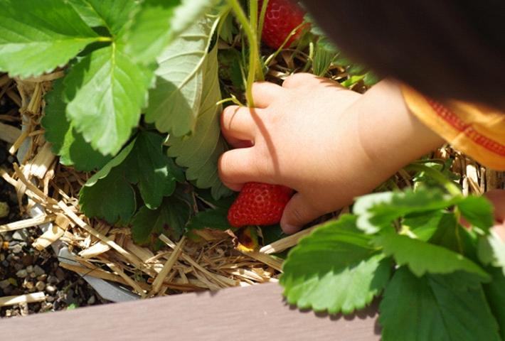 家庭菜園でのイチゴをいよいよ収穫