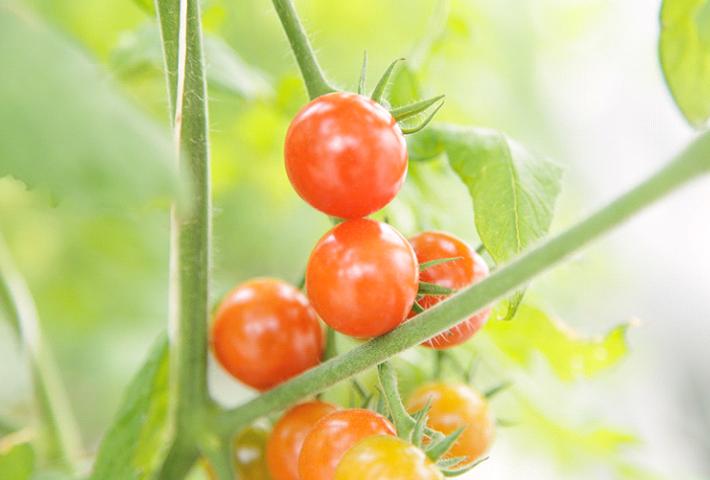 初心者におすすめ!人気の野菜ミニトマト
