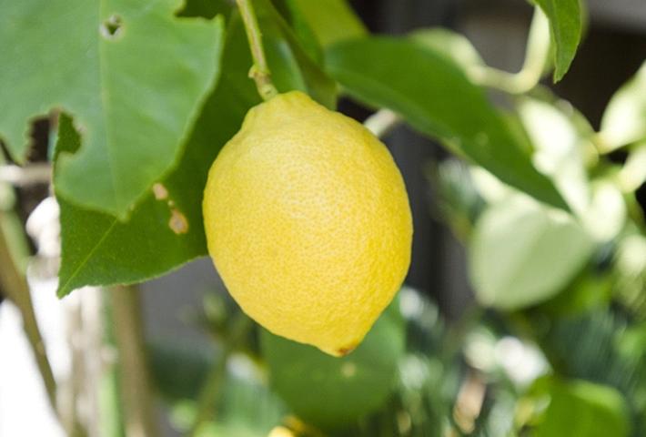 幸運の実がなる「レモン」