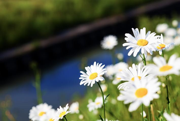初心者でも育てやすい花・可愛らしい【マーガレット】