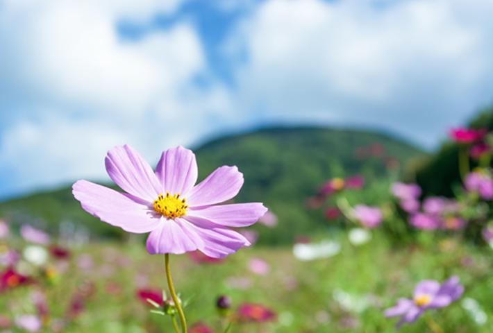 初心者でも育てやすい花・可憐できれいな花を咲かせる花【コスモス】