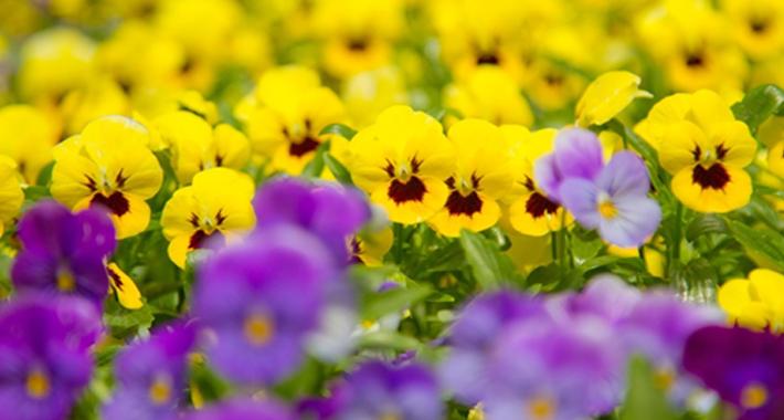 冬でも花を楽しみたい! 寒さに強い花の育て方をご紹介