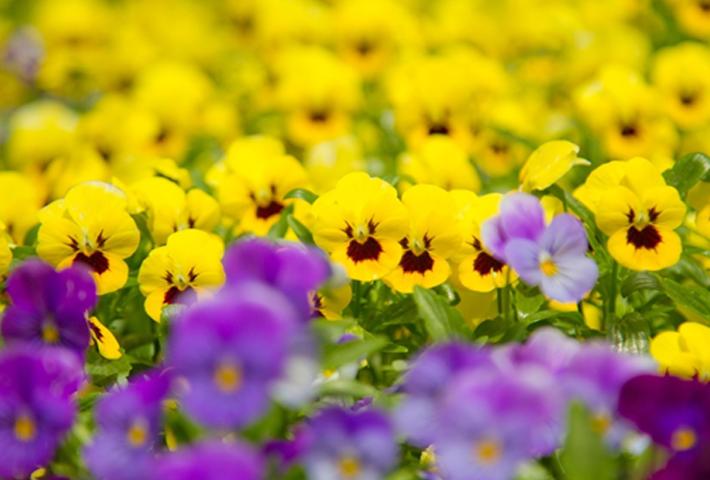 冬でも育つ・色鮮やかな花【パンジー】の育て方