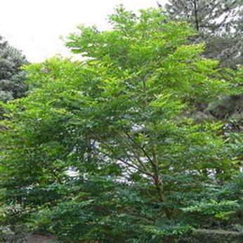 庭木・人気種⑦シマトネリコ
