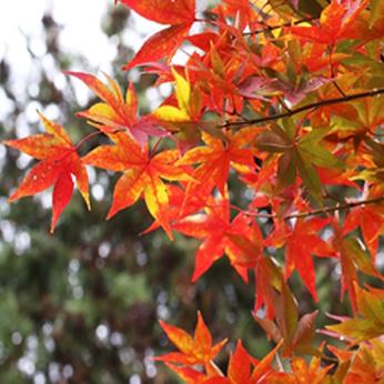 庭木・人気種⑩紅葉