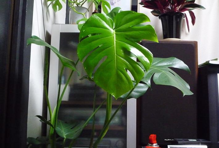 観葉植物に害虫が発生する状況