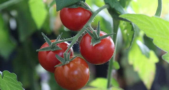 家庭菜園で発生する害虫
