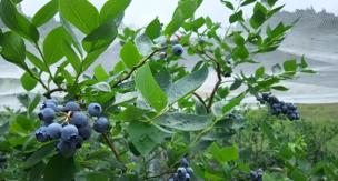家庭菜園でも美味しい果物が作れる! 植え方・育て方のコツ。