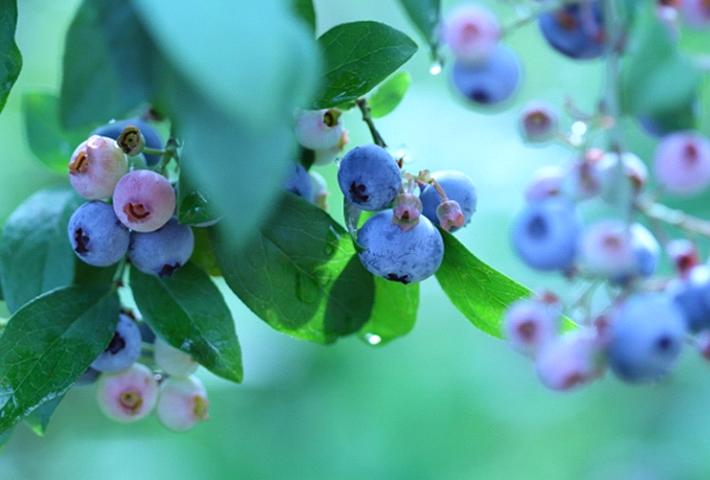 家庭菜園におすすめの果物・ブルーベリー