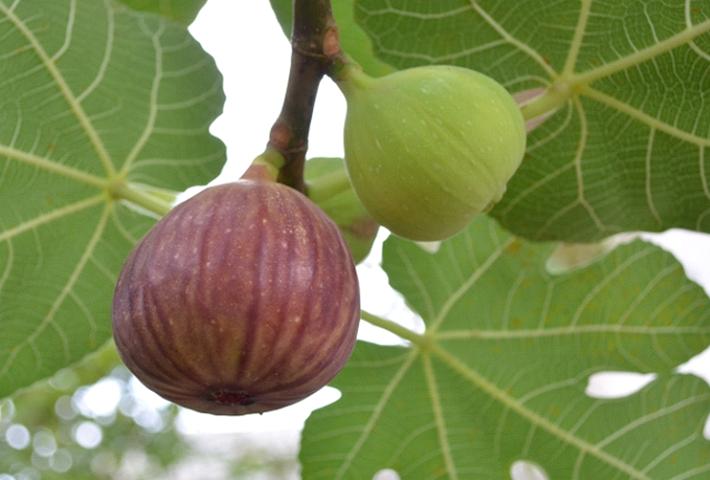 家庭菜園におすすめの果物・イチジク