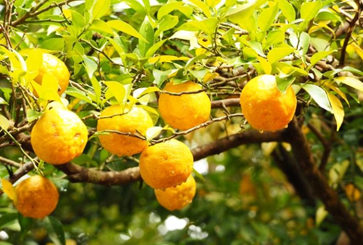 家庭菜園におすすめの果物・ゆず(柚子)