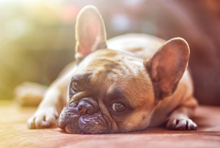 愛犬のアレルギー!どのような症状がでる?