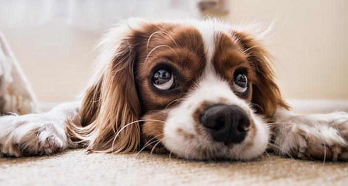 犬の涙やけ、なんとかしてあげたい!涙やけの原因やケア方法