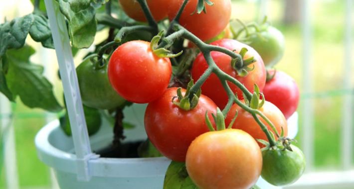 家庭菜園でつくれるおいしいミニトマトの育て方をご紹介!