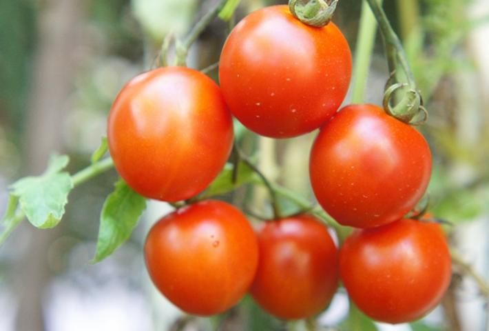 ミニトマトは初めての家庭菜園におすすめ
