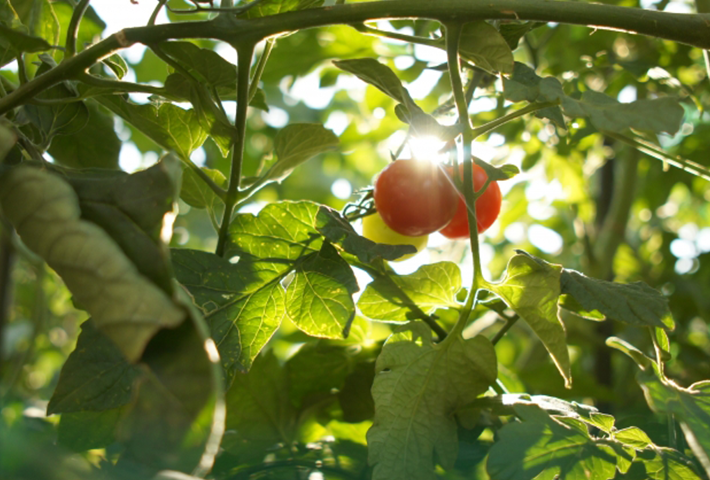 ミニトマト栽培のコツ