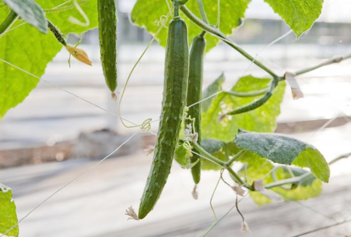 きゅうりをまっすぐ栽培する方法