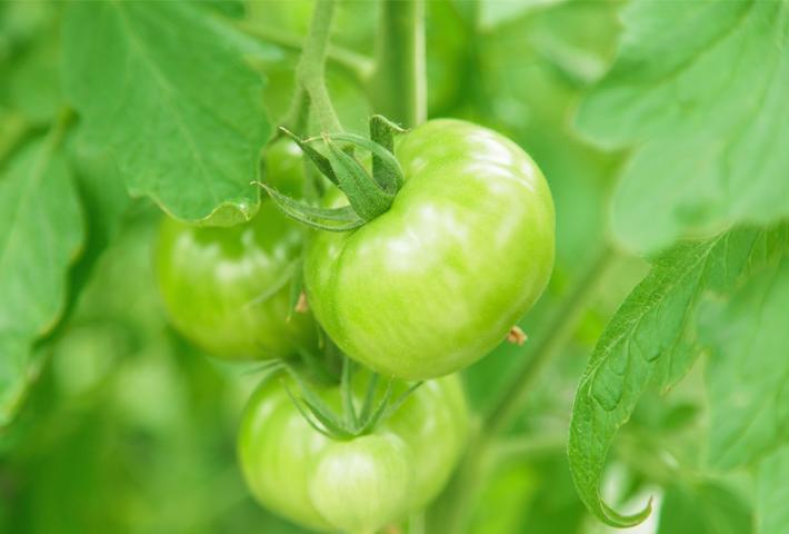 トマトをプランターで育てる時の注意点