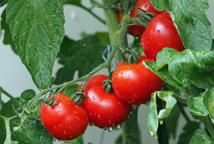 家庭菜園で作る!トマトの育て方をご紹介します まとめ