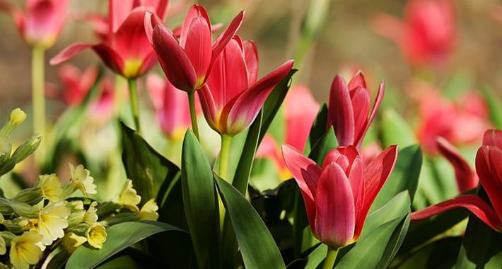 チューリップを上手に咲かせる方法・育て方をご紹介。