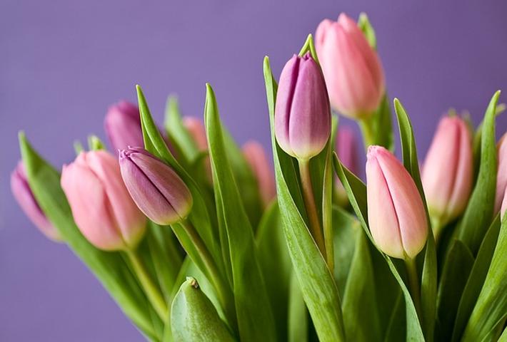 チューリップの開花時期