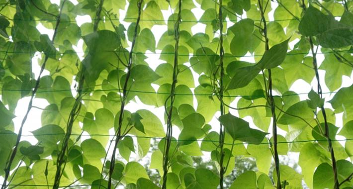 夏は手間いらずでエコな緑のカーテンで乗り切ろう!おすすめの種類と育て方