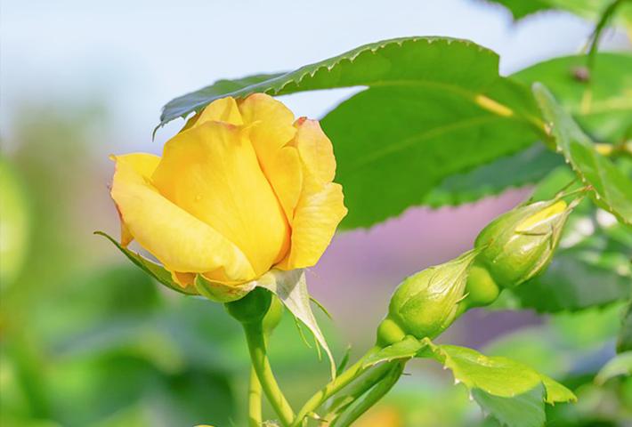 バラの剪定・夏と冬の違いは