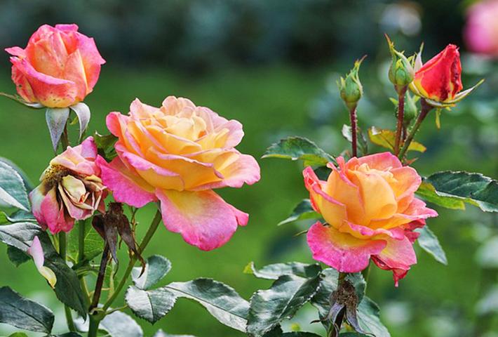 バラの剪定・夏の剪定の方法