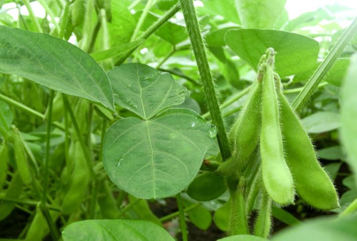 枝豆を育てる時期