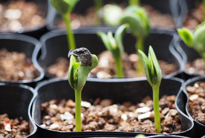 枝豆の苗の選び方と植え付けのコツ