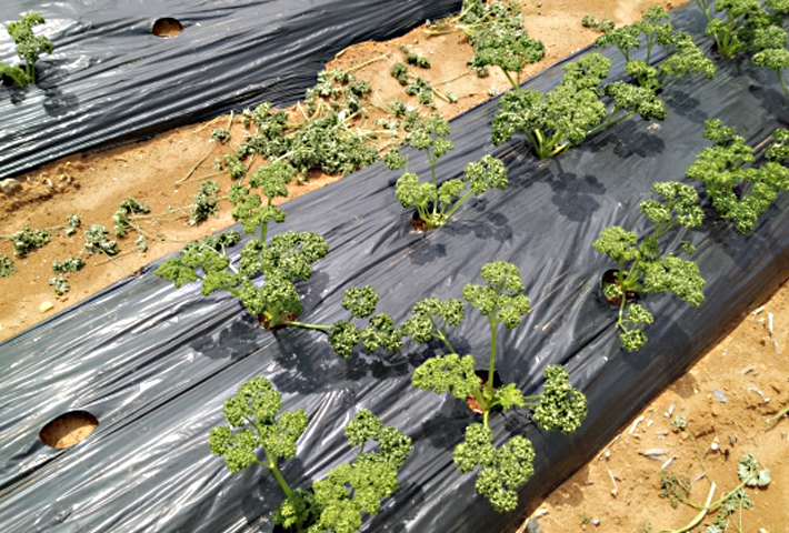 パセリの苗の選び方と植え付けのコツ