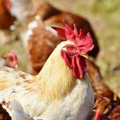 鶏フン堆肥