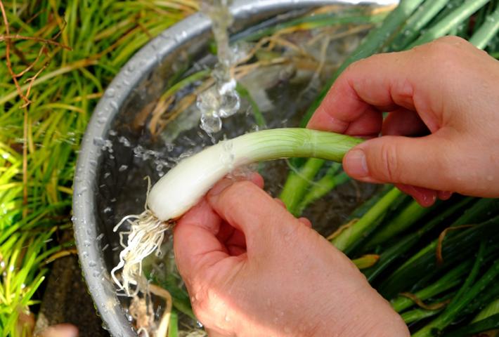 ワケギの球根の選び方と植え付けのコツ
