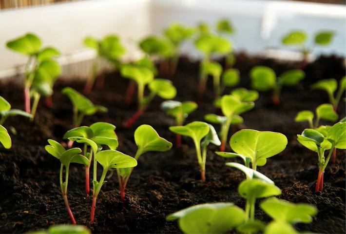 ラディッシュの種の選び方と植え付けのコツ