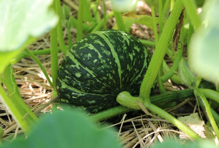 カボチャの苗の選び方と植え付けのコツ