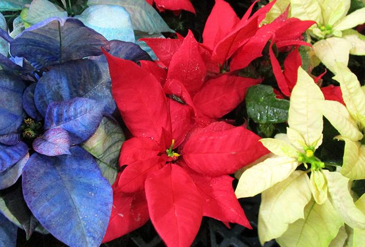 クリスマスの寄せ植えにおすすめの植物