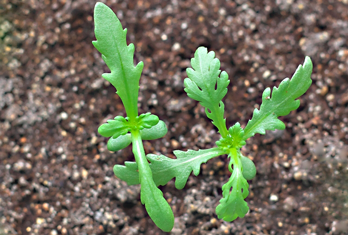 シュンギクの種の選び方と植え付けのコツ