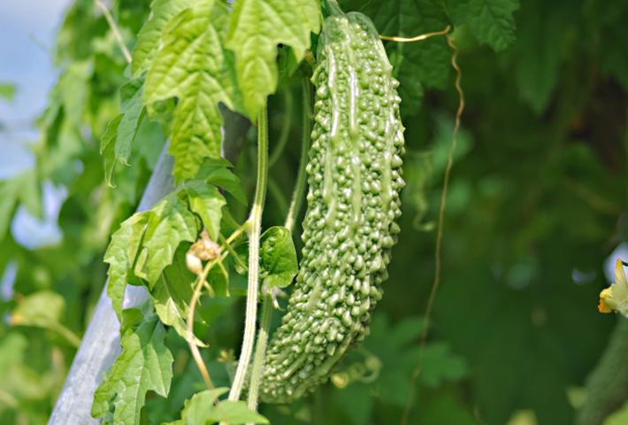 家庭菜園で作る!ゴーヤの育て方をご紹介します まとめ
