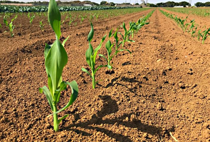 スイートコーンの苗の選び方と植え付けのコツ