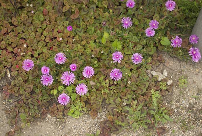 花も楽しめるグラウンドカバー