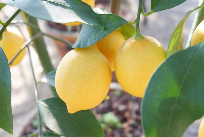 おすすめの果物③お料理にも重宝するレモン