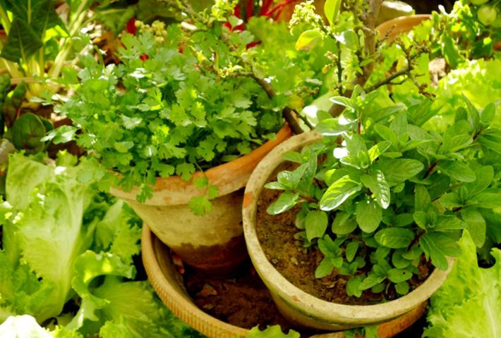 家庭菜園の害虫対策・コンパニオンプランツとは