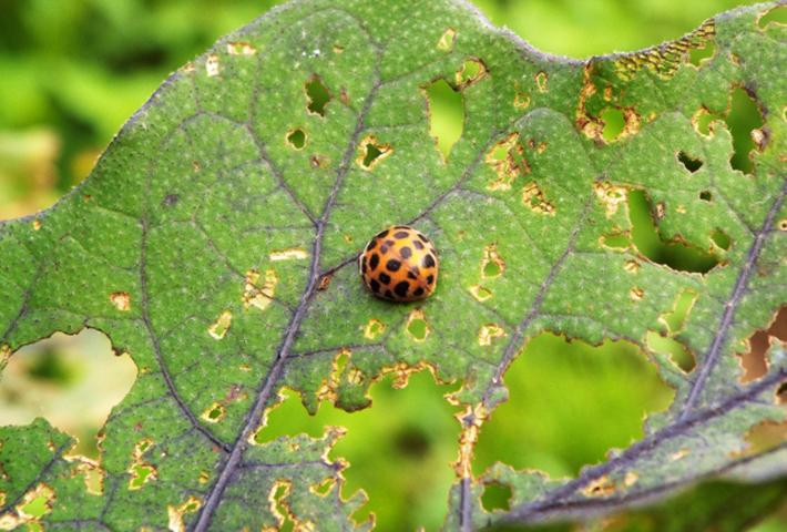 家庭菜園の害虫対策・ハーブで害虫予防