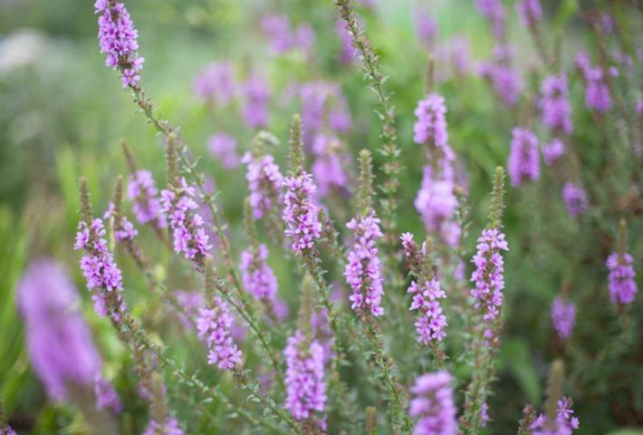 無農薬で家庭菜園の害虫駆除・②コンパニオンプランツの利用